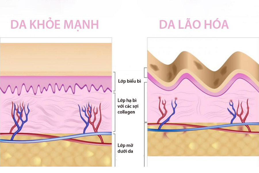 Collagen có chức năng gì?