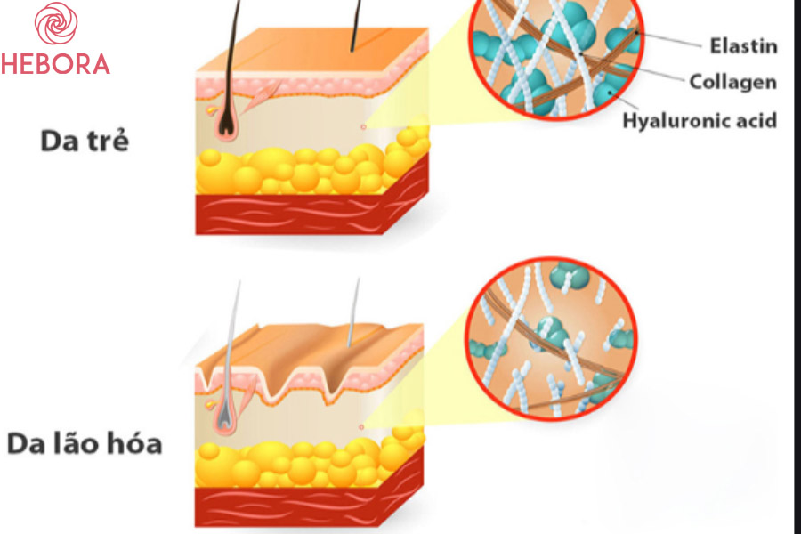 Collagen trên da