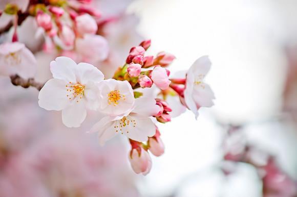 Hoa anh đào, nữ hoàng lưu hương xứ Phù Tang