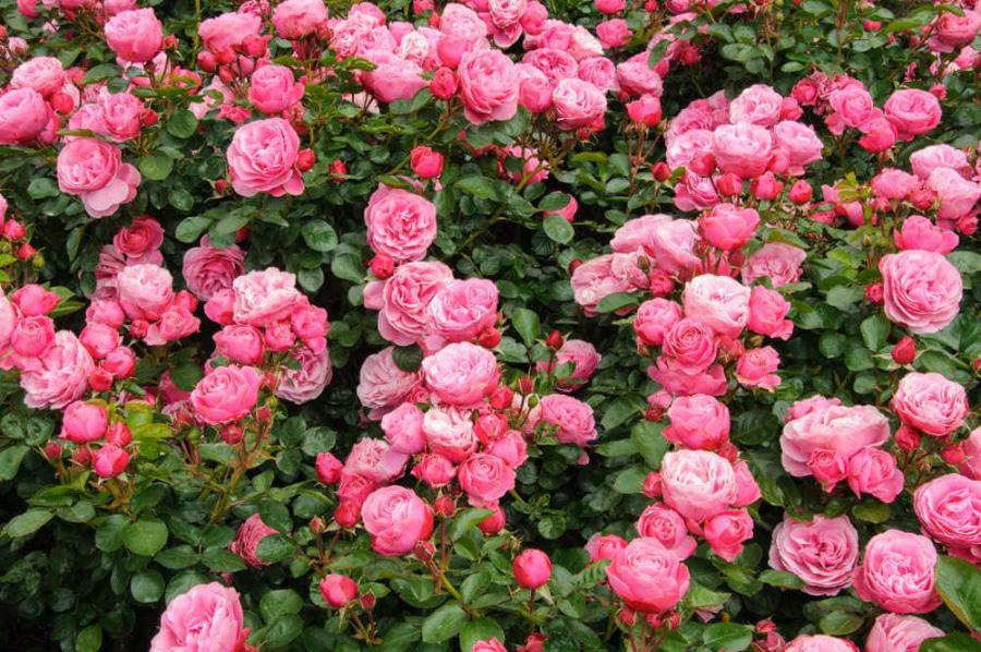 Hoa hồng Damask