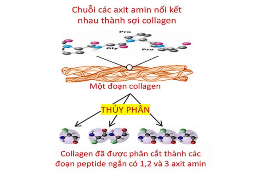 So sánh Collagen thường và Collagen peptide