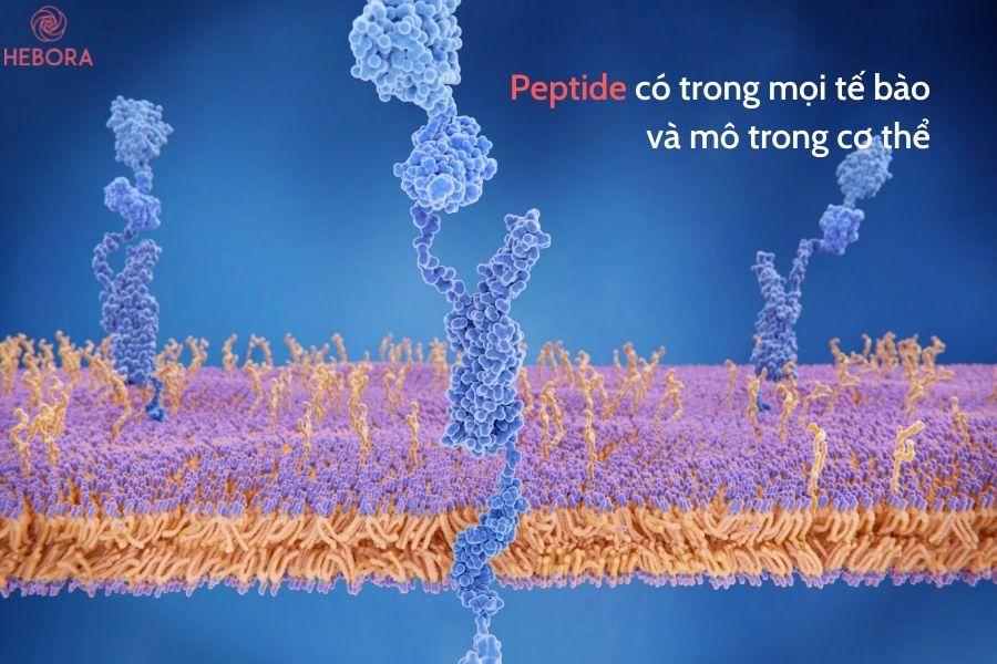 Peptide có trong mọi tế bào và mô trong cơ thể